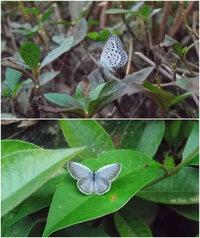 この蝶は、ヤマトシジミでしょうか?ルリシジミでしょうか?  公園のあちこちに低く飛んでいました。 翅の裏と表?が全然違う印象です。  ご回答、宜しくお願い致します。