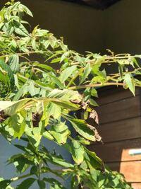 皇帝ダリア 皇帝ダリア具合が変なんですよ 前にも質問しましたが 枝の先から付け根までの葉が 一番うえの方まだ青くでいいはず の葉からボロボロ焼け焦げたみたいに なっていて、背丈は自分の背丈172 より20センチ位高いくらいかと どういう原因が考えられますか? 去年まではしっかり花も咲かせていたのに 心配です。