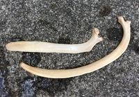 海岸で拾った骨が何の骨か知りたいのですがわかる方がいましたら教えてください