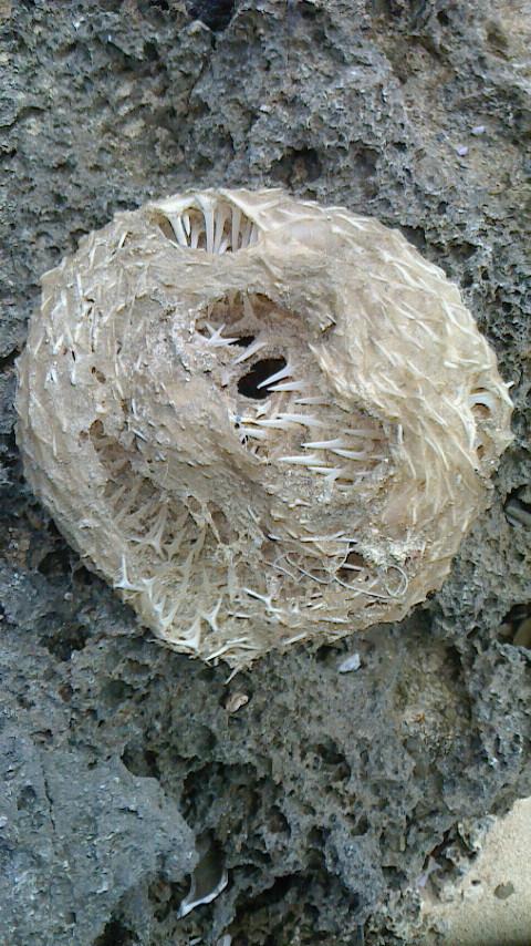 去年の冬、沖縄の海岸で見つけたものです。 細いサメの歯のような物が無数に、寒天のようなものでド...