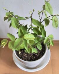 セイロンライティアの葉が白ぽっくなってきました。 8月中半までは艶のある緑色で花も咲いてました。 今は艶もなく白ぽっく元気がないセイロンライティアになってしまいました。なぜなのでし ょうか?また植え替えして剪定したら復活は可能でしょうか?
