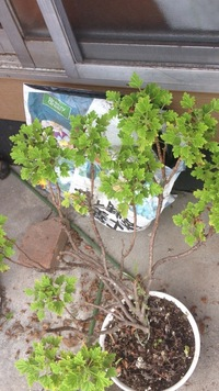 ゼラニウムの木化 剪定について、  センテッドゼラニウムを3年ほど育てているのですが、凄い木化していて不格好なので剪定したいのですが、  どれぐらい切っても大丈夫なのか、 木化した所 からもまた葉っぱ...