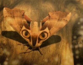 蛾で、羽がネコの顔のような模様になる種類のものをネットで見ました。何と... - Yahoo!知恵袋