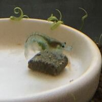 エビヤドリモの駆除について ベルベットブルーシュリンプにエビヤドリモが付いているのですが、抱卵に影響があると聞き駆除したいと思っています。  ネットでは塩水浴などが書かれているのですが、効果がないなど...