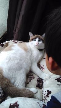 猫の毛の長さについて。 我が家の愛猫 7ヶ月で5キロあります 母猫は長毛のラガマフィンですが パパ猫は何猫か不明です 冬に近づいて毛がもふもふしてきました かなり柔らかくて気持ちいい です 尻尾は 元々ボフッとしてるので 中毛かと思います 毛の長さって1歳頃に決まるんですか? あとちょっとだけ伸びた姿が見てみたいとゆう本音です(笑)
