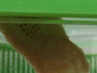 カマキリの卵 これは無精卵ですか?  かごの壁にはみ出ておる部分から卵のつぶつぶがみえました  これは無精卵と有精卵どちらなのでしょうか? 目で見た感じは透明に見えます