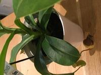 食虫植物のネペンテスアラータを購入しました。 ちゃんと根付いていないのか、土が足りないのかわからないのですが、グラグラしていて心配です。この時期の植え替えは危険でしょうか?それとも 土増しなどをした方がいいでしょうか? 対策をアドバイスお願いします。