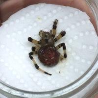 庭にいました。体長1.5センチほどです。このクモはなんていうクモでしょう?