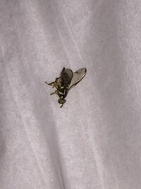 ※写真付き この虫はなんですか?? ハエの様な、蜂の様な… シマシマは黄色?か白?と黒で、お尻にハリみたいなのがニョキッと出てます。 写真では死んでいますが、生きてるときは緑っぽく光って(よくハエに見られ...