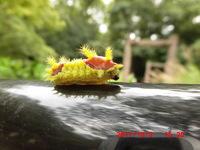 イラガの幼虫に刺されて死亡する事ってありますか?アナフィラキシーショック。