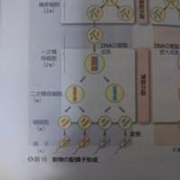 二次精母細胞から精細胞に分裂するときに染色体数が半減しないのはなぜですか?