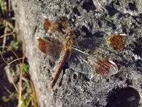 このトンボは、ミヤマアカネの♀なんでしょうか?  週末に秩父の低山のあちこちで見かけました。 生まれて初めて見たトンボです。  ご回答、宜しくお願い致します。