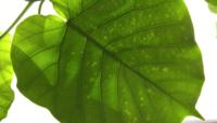 観葉植物 初心者です。 8月に購入しましたウンベラータの葉が 画像のように ところどころ色が薄くなったような感じになっています。  不調のサインでしょうか? ご教授よろしくお願いいたします。