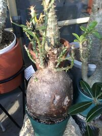 この植物の名前を教えてください。 またこの写真のサイズに育つにはどのくらい時間がかかりますか?