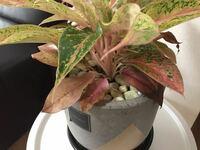 観葉植物のアグラオネマの水やり、葉水、育て方など教えてください! それから、こうして枯れてきた葉っぱはどうすれば良いですか?そのままにしておくか、切ってしまったほうが良いのですか?