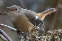 この鳥はジョウビタキのメスで合ってますでしょうか? よろしくお願いします。