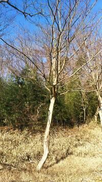 枝幹だけで樹木の種類がわかりますか?