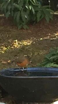 茨城の実家に帰省中に写真のような野鳥が庭に飛来しました。大きさはヒヨドリ〜ツグミぐらいです。スマホのズームで撮影したので見づらいのですが、どんな種類の鳥かお分かりになる方がいらしたらご教示下さい。