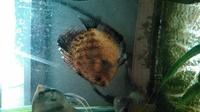 ディスカスの背びれに綿棒の先のようなものが付着しています。 綿カビ病でしょうか?水槽が一つしかないのですが薬浴で他の 魚に影響を及ぼすことはありますか。