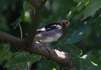 自然観察中に珍しい野鳥がいましたが、鳥の名前がわかりませんのでどなたかご教示をお願いします。 なお、野鳥図鑑590を見ましたが分かりませんでした。 以上、よろしくお願いします。