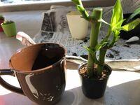 観葉植物でミリオンバンブーを植え替えしようと思うのですが、コップなどでは根腐れしてしまいますでしょうか。 鉢底石と赤玉土、観葉植物の土をいれようとおもっています。 初心者で分からないことがあり、どな...