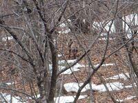 動物にお詳しい方に質問です。 先日、白馬に旅行に行き、どんぐり村付近を散歩していると写真のようなカモシカに似た動物が現れました。遠い場所にいてその場では何の動物か判断できなかったので写真を撮りました...