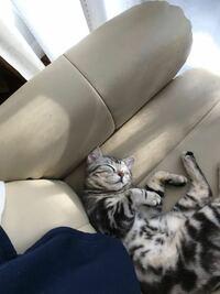 うちの猫の写真です!可愛い方ですか?どんな猫でも性格は可愛いですけど、顔的にどうですか?猫を飼っている皆さんも良ければお見せください!