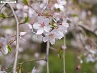 「韓国の嘘」の追加です。 2018-04-18  まず、  「ソメイヨシノ(染井吉野)」=「エドヒガン系」+「オオシマザクラ(日本固有種)」 ※遺伝子研究の結果、ソメイヨシノはエドヒガンとオオシマザクラの雑種が交雑してできた単一の樹を始源とするクローン ↓ソメイヨシノ(Wikipedia) https://ja.wikipedia.org/wiki/%E3%82%BD%E3%83%A1%E3...