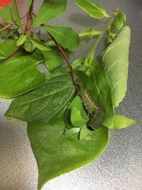 青虫が蛹にならない。 1週間程前に黄緑色だった青虫を拾ってきたのですが、数日前から急に色が濃い緑色に変わり、巨大化してしまいました。 昨日新しく同じ種類と思われる青虫が写真の青虫よりも小さく、黄緑色のまま蛹になりました。 写真の青虫は蛹になる事が出来ないのでしょうか? それともこれは青虫ではなかったのでしょうか。  詳しい方がいらっしゃいましたら回答をお願いします。