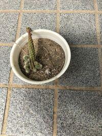 サボテンの事でお尋ねします。 枯れかかったサボテンから、可愛いサボテンが 出てきました。 ① 切り離しても大丈夫ですか? ② 切り離した方が良いのでしょうか? 鉢に移した場合の水やり、土の状態、注意点、教え...
