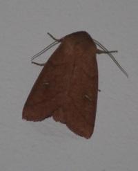 この蛾の名前を教えてください。 九州のコンビニの光に誘われて止まっていました。 似た模様の種はいましたが、写真のように細長い白い紋が ついている蛾は分かりませんでした。