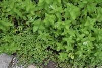 植物の名前についてご質問させてください。 写真下の細かな葉の植物と、上の少し大きめの葉の植物について、ご存知の方いらしゃいましたら教えていただけると幸いです。 どうぞよろしくお願い致します。