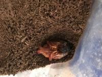 カブトムシのさなぎがこの写真のような状態です。土の上の方で蛹室をつくったみたいです。このまま放置で大丈夫でしょうか?さなぎになって2.3日だと思います。