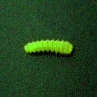 この毛虫がわかりますか ぶどうの木に付いて葉を食べまくっていました 毛虫の種類がわかりません 他の花などには一切付いていません どなたかおわかりの方がありましたら教えてください写真の撮り方が悪いので分かりづらいかもしれませんが 色は葉と同じ黄色みがかった緑色をしています 大きさは15ミリ程度です