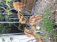アオダモが枯れてきてます。写真のように蜘蛛の巣がはったようになってますが、 害虫でしょうか??何か所かこんな感じです・・ どうしたらいいでしょうか??