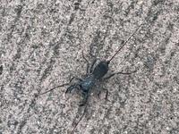 奄美大島で見た昆虫です。なんかヤバイ感じがしたので、捕まえませんでした。これは何という昆虫でしょうか?ご存知の方お教えください。