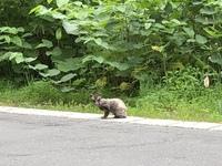 この動物は誰ですか? 青森市の山中です。車内から撮影したのですが、おとなしい雰囲気でした。よろしくお願い致します。
