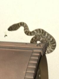 マムシ? アオダイショウ幼蛇? 数日前の夜10時ごろ、玄関ポストに蛇がいました。 取り逃がしてしまったのですが、マムシだったらと怖い思いをしています。 体は頭に対して細い印象で、全長30〜40センチ程度だっ...