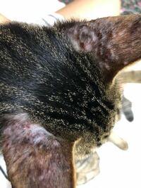 飼い猫の耳がこんなことになってます。 これはなんなのでしょうか? 病院に行ったら蚊に刺されと言われましたが、蚊とは思えないほどボコボコしてます。かさぶたもあります。 詳しい方、教えてください。