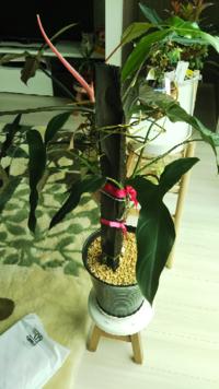 この、観葉植物の、剪定方法教えてください、