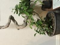 ガジュマル枯れた?  今年のゴールデンウィークに画像のガジュマルの植え替えと剪定をしました。剪定は所々茶色い葉が目立ってきましたので。  生命力が強いから大丈夫だろうと丸刈りにして しまったのを今後...