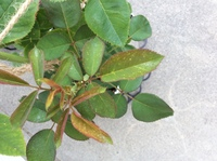 バラの病気について知恵をお貸しください。 オマージュ・ア・バルバラ(デルバール)の新苗を育てております。 写真のように新葉に斑点が入っております。緑になりきっている葉っぱには斑点はありません。 ハダニはいないようですし、ニームオイルを使っているのでその影響かなと考えましたがこれは病気なのでしょうか。 よろしくお願いします。
