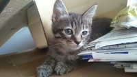 この猫はキジトラ、サバトラどちらですか?