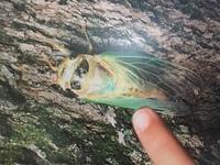 これは、蝉の赤ちゃんみたいですが、何蝉か分かりますか?  3センチ強、岐阜県岐阜市で撮影したようです。