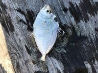 この魚の名前わかりますか? ちなみに食べれる魚なのでしょうか?