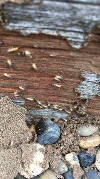 ヒメアリ?シロアリ? 今朝、発見しました。シロアリの幼虫でしょうか シロアリだった場合どうしたら良いですか?
