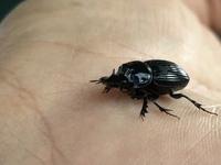 このクワガタっぽい虫の名前を教えてください。場所は静岡県御殿場市です。