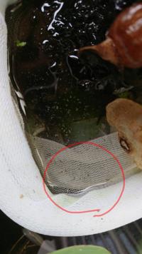 画像赤丸の中に写っている、小さいのはメダカの針子でしょうか?それともメダカではなく、ボウフラの幼虫など他の生き物でしょうか?水草にメダカの卵らしきものを見つけ隔離したのですが、何日かしてから見ると小さ いのが沢山いました。初めてメダカを飼ったので、わかる方教えて下さい。