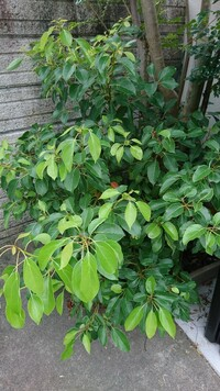 何の葉っぱ(木)かわかりますか? 画像は手前の葉っぱです。奥の木は別のものです。