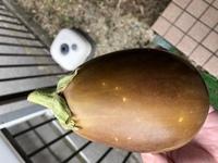 家庭菜園で米ナスを育てているのですが何個か茶色?黄色?のようなナスになります。 何故でしょうか? 切ると中身は通常と同じで変わりはないです。 食べれるのでしょうか?